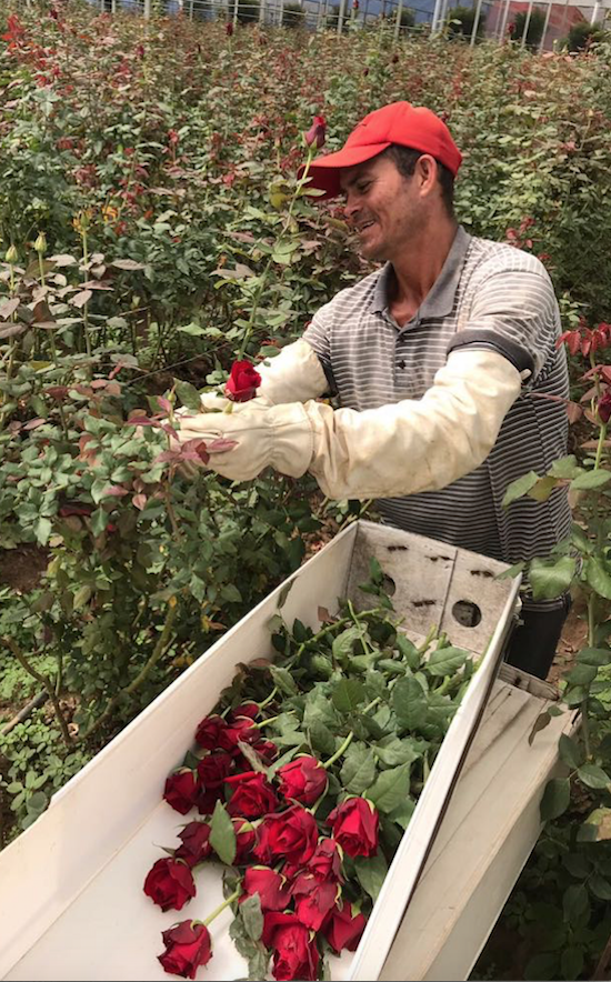 Rosas para o mundo