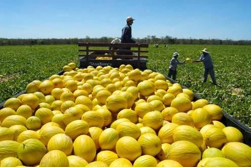 Governo da China autoriza o início da importação de melão cearense
