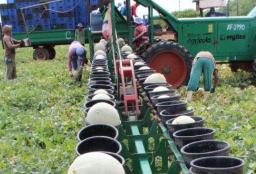 Exportação de melões do Ceará registra alta de 134% no primeiro semestre