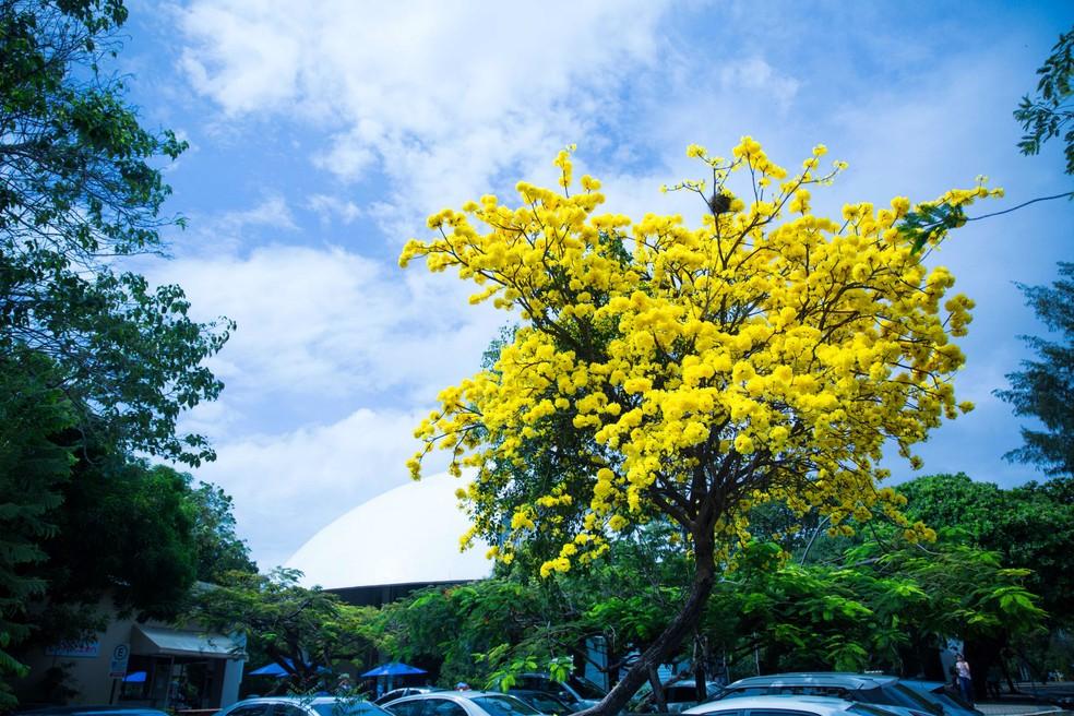 Ipê-amarelo é instituído como Árvore Símbolo de Fortaleza